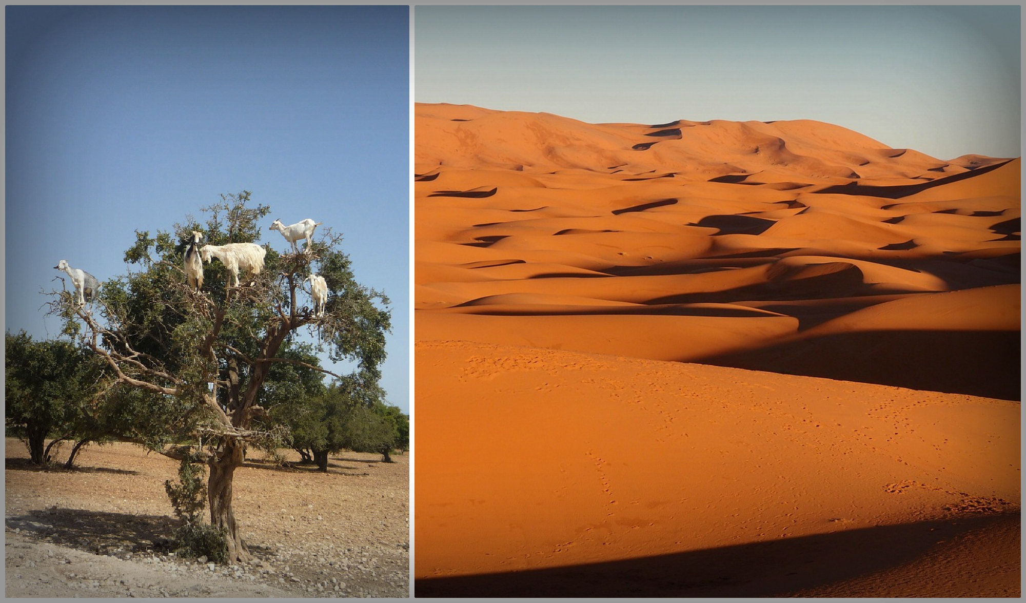 We love Argan oil. Goats do as well.